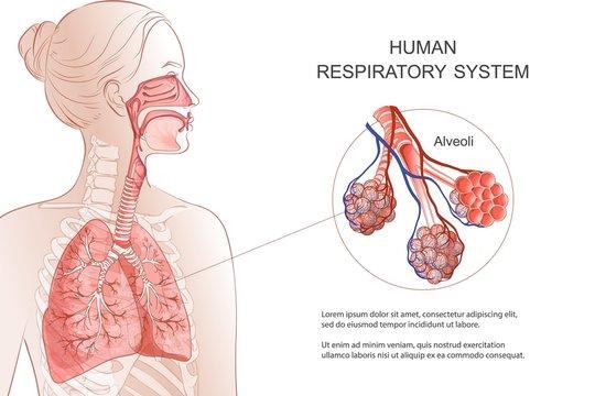 Human Respiratory System, lungs, alveoli. Vector Anatomy illustration.