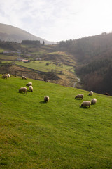 Sheeps grazing in the mountains at Aizkorri mountain range, Basque Country.
