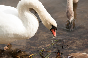 Foto op Canvas Zwaan White adult swan floats on the lake, near the shore