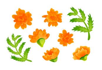 Set of orange marigold blooms and green leaves