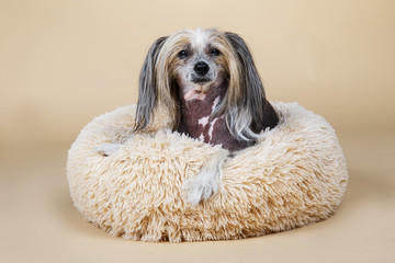 Cute decorative pedigreed dog relaxing on bed Fotobehang