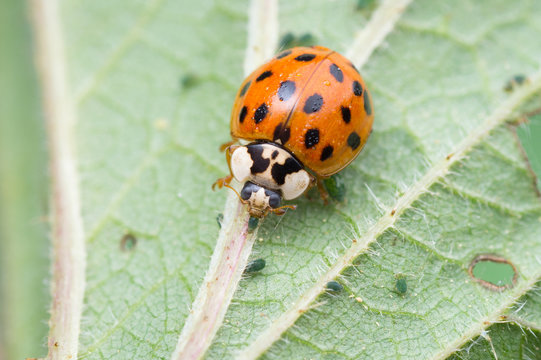 Asian ladybug on stinging-nettle is eating delicious aphids