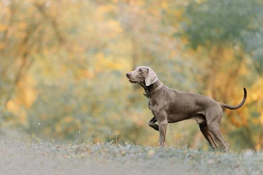 weimaraner dog in a collar standing outdoors in autumn