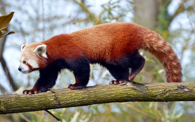 Red panda (Ailurus fulgens) seen from profile and walking on trunk tree
