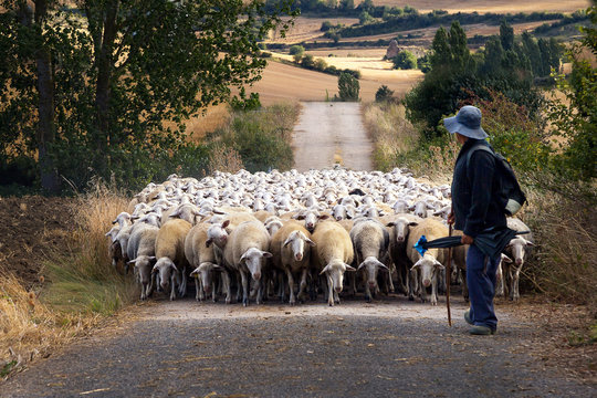 A Shepherd and his flock of sheep walking down the path in Navarra, Northern Spain