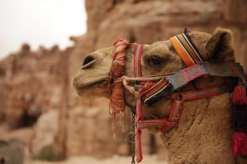 Poster Kameel closeup of a camel on jordan arabian peninsula