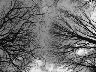 a monochrome upwards view of the branches of winter forest trees against a cloudy sky
