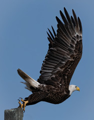 Poster Eagle Bald eagle Taking Off