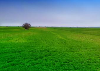 Fotorollo Grun green wheat field against a blue sky