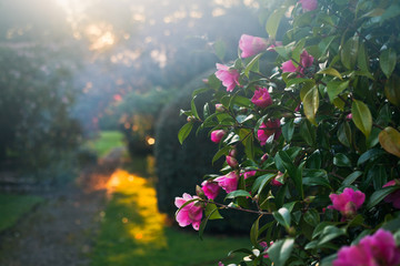 Papiers peints Jardin Beautiful romantic camellias in old sunny garden.