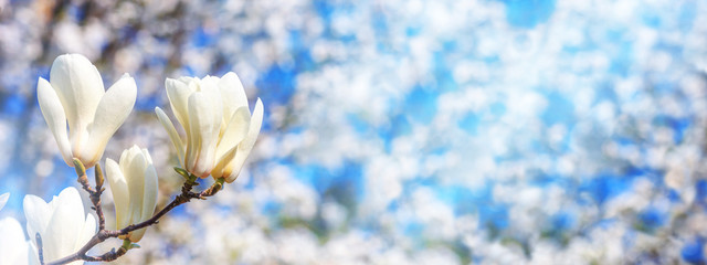 Poster Magnolia Spring background, panorama, banner - white magnolia flowers on a tree on the background of a blooming garden and the sun lights, closeup with space for text