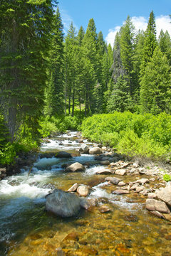 Ponderosa Pines with creek in Payette National Forest near McCall Idaho