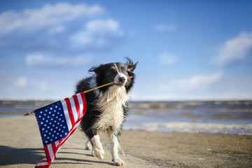 Tuinposter Hond Patriotic border collie dog running along the beach carrying the American flag.