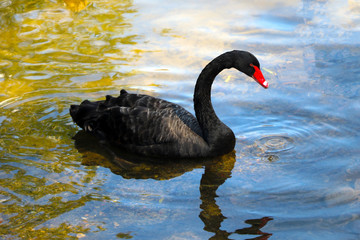 Papiers peints Cygne A black beautiful swan swims on the lake on a sunny day. Black swans feed mainly on aquatic plants and small algae, do not disdain also grain.