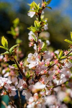Abeille butinant les fleurs roses d'un arbuste au Jardin des Plantes de Montpellier, le plus ancien jardin botanique de France