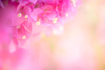 Poster Candy roze Beautiful nature view of flower on blurred background in garden with copy space using as summer background natural flora plants landscape, ecology, fresh cover page concept.