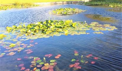 Fotorollo Wasserlilien Water Lilies Green Point Urban Park Cape Town
