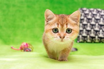 Golden British kitten looks funny at the camera
