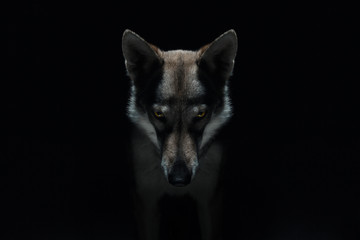 Ingelijste posters Wolf Wolf in different perspectives on dark blue background