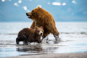 TheKamchatkabrownbear, Ursus arctos beringianus catches salmons at Kuril Lake in Kamchatka, mother with cubs