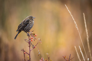 Thered-winged blackbird,Agelaius phoeniceus The bird is perched on the branch in nice colored environment America Yellowstone Wildlife nature scene. ..