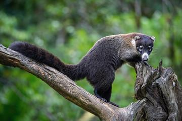 Thewhite-nosed coati,Nasua narica The mammal is standing in the rain forest America Costa Rica Wildlife scene from America nature. ..