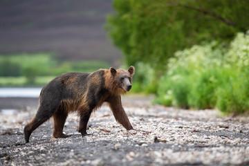 TheKamchatkabrownbear, Ursus arctos beringianus catches salmons at Kuril Lake in Kamchatka, running in the water, action picture