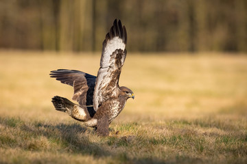 The Common Buzzard, Buteo buteo is sitting in the dry grass in autumn environment of wildlife. Golden light
