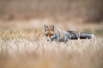 Red fox, Vulpes vulpes The mammal is standing in beautiful colorful autumn environment Europe Czech Republic Wildlife scene from Europe nature. young male