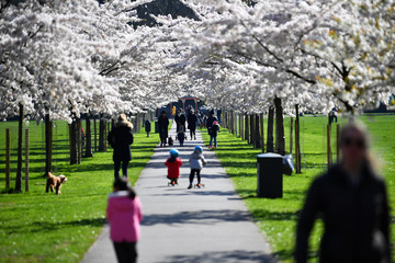 Families walk under cherry blossom trees in Battersea Park in London