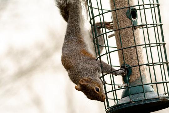 Grey Squirrel on a squirrel proof bird feeder