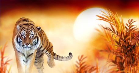 Photo sur Toile Tigre Tiger and fantasy sunset in jungles with palm trees. Exotic banner backround and panthera tigris. Spectacular warm sun light, dramatic red cloudy sky. Portrait of pride animal walking forward.