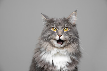 Photo sur Plexiglas Chat cute blue tabby white maine coon cat making funny face with open mouth in front of gray background with copy space looking at camera