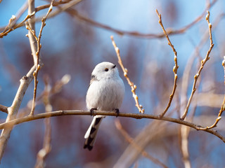 Long-tailed tit bird sits on a branch
