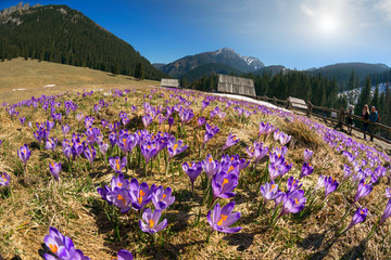 Wall Mural - Crocuses in the Tatra Valley