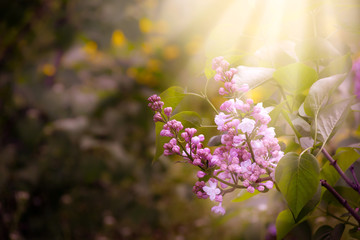 Poster Lilac Blooming spring lilacs flowers in fabulous garden on mysterious fairy tale springtime floral sunny background with sun light and rays, fantasy nature landscape with syringa bloom, copy space