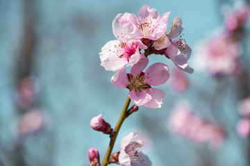 bright pink and white flowers on trees, blooming, spring landscape, beautiful background