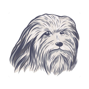 Lion bichon head hand drawn vector sketch. Bearded collie face isolated on white background.