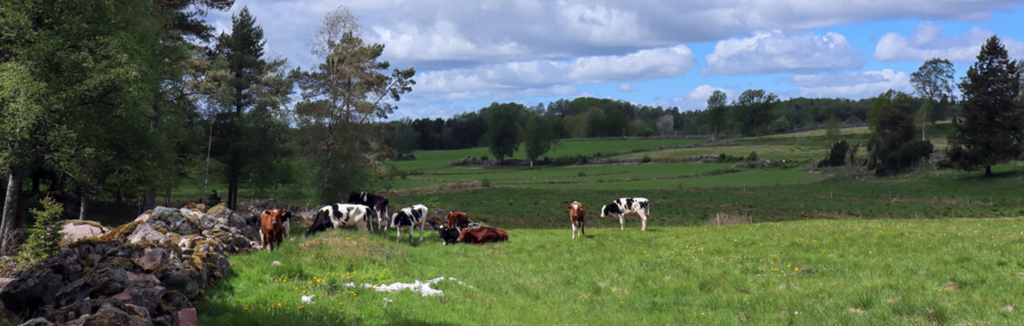 Cows out on the meadow during Summer in Sweden.