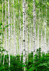Photo sur Aluminium Bosquet de bouleaux Grove of Birch Trees Photographs