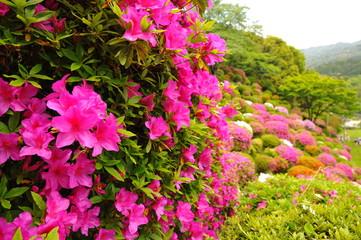 Fotorollo Rosa 蹴上浄水場の色とりどりのツツジの花々です