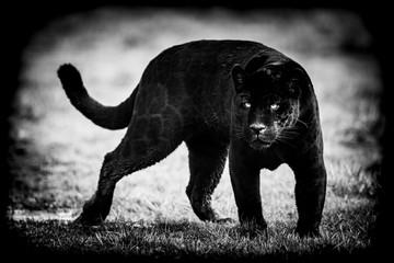Poster Panther Black jaguar with a black background