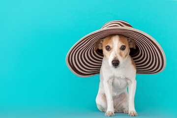 Calm little white and brown Jack Russell Terrier dog in large striped hat with brim looking at camera with interest while sitting against bright blue background in studio as concept of summer vacation