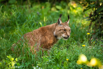 Wall Mural - European lynx in high grass