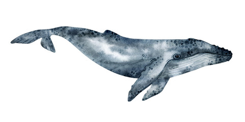 Watercolor humpback whale illustration isolated on white background. Hand-painted realistic underwater animal art.