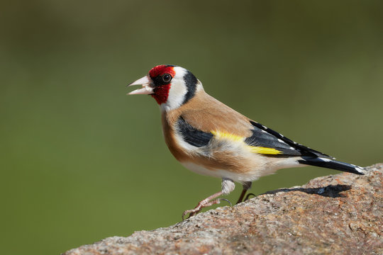 Close-up side view of a colorful goldfinch bird on a rock in nature