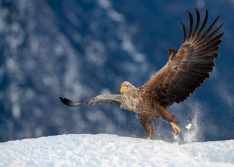 European white tailed eagle (Haliaeetus albicilla) in snow with prey Wall mural