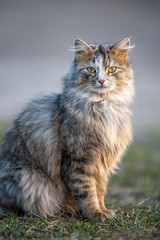 Fototapete - Fluffy cat with long fur sitting in a grass