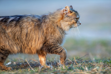 Wall Mural - Fluffy cat with long fur sitting in a grass