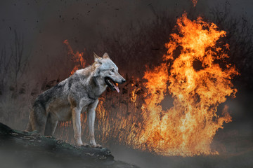 Wolf on a background of burning forest